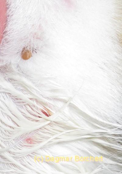 Weiße Zecke Katze